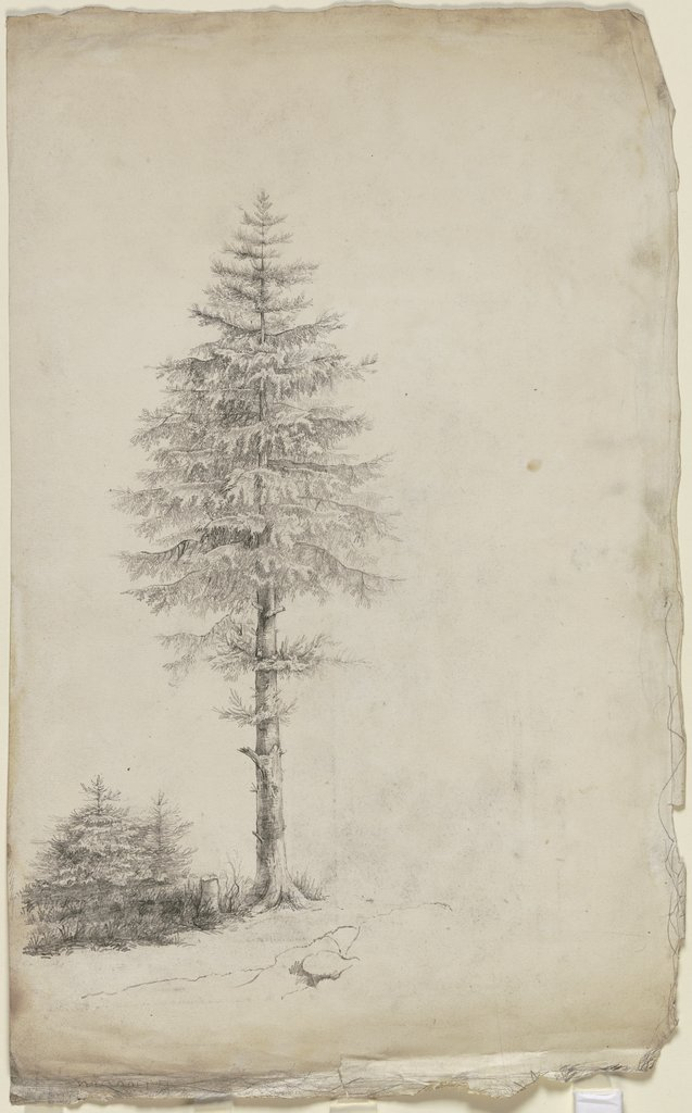 Conifers, Victor Müller