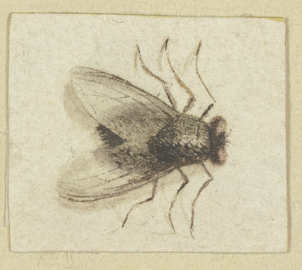 A large Fly seen from above, Jacques de Gheyn II