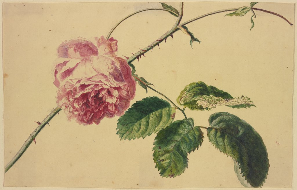 A rose, Jan van Huysum