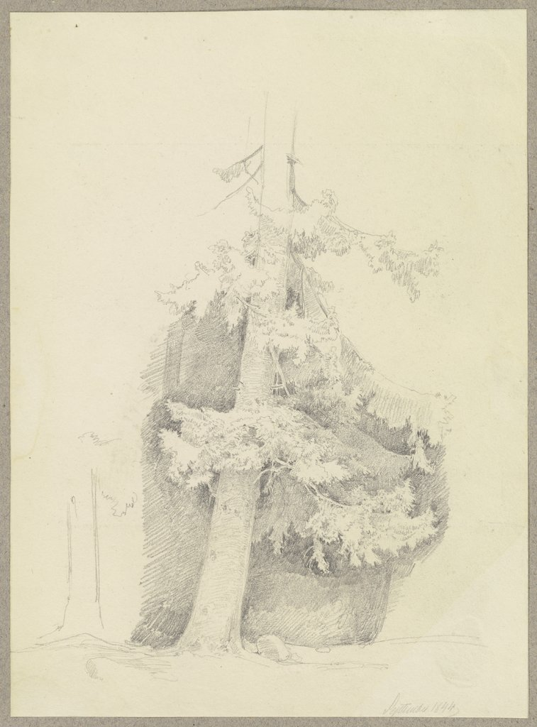 Conifer, Carl Theodor Reiffenstein