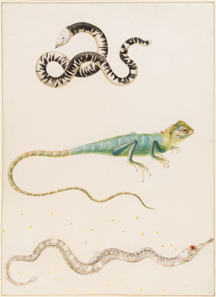 South American smallhead worm lizard, iguana or East Indian tree lizard and pipefish, Maria Sibylla Merian, Maria Sibylla Merian  workshop ?