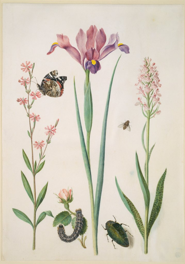 Catchfly with admiral, rose with fox moth, iris, hoverfly, jewel beetle and orchid, Maria Sibylla Merian  circle