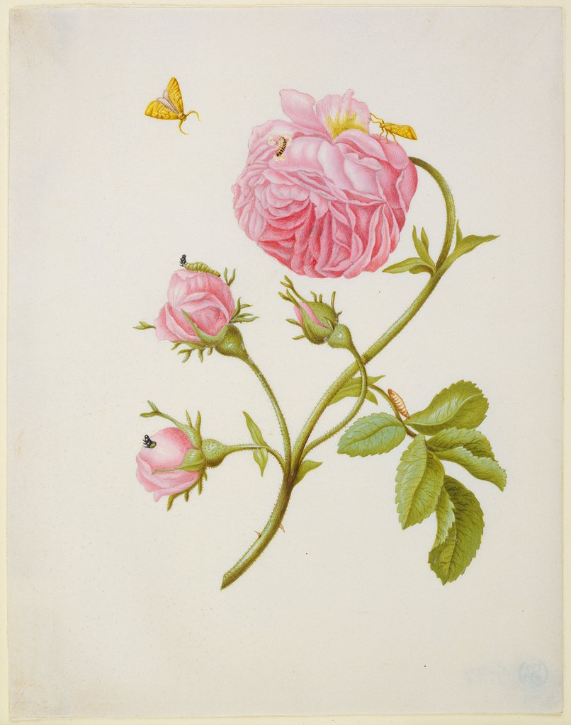 Rose with Metamorphosis of Leaf Roller and a Glued Beetle Larva, Maria Sibylla Merian