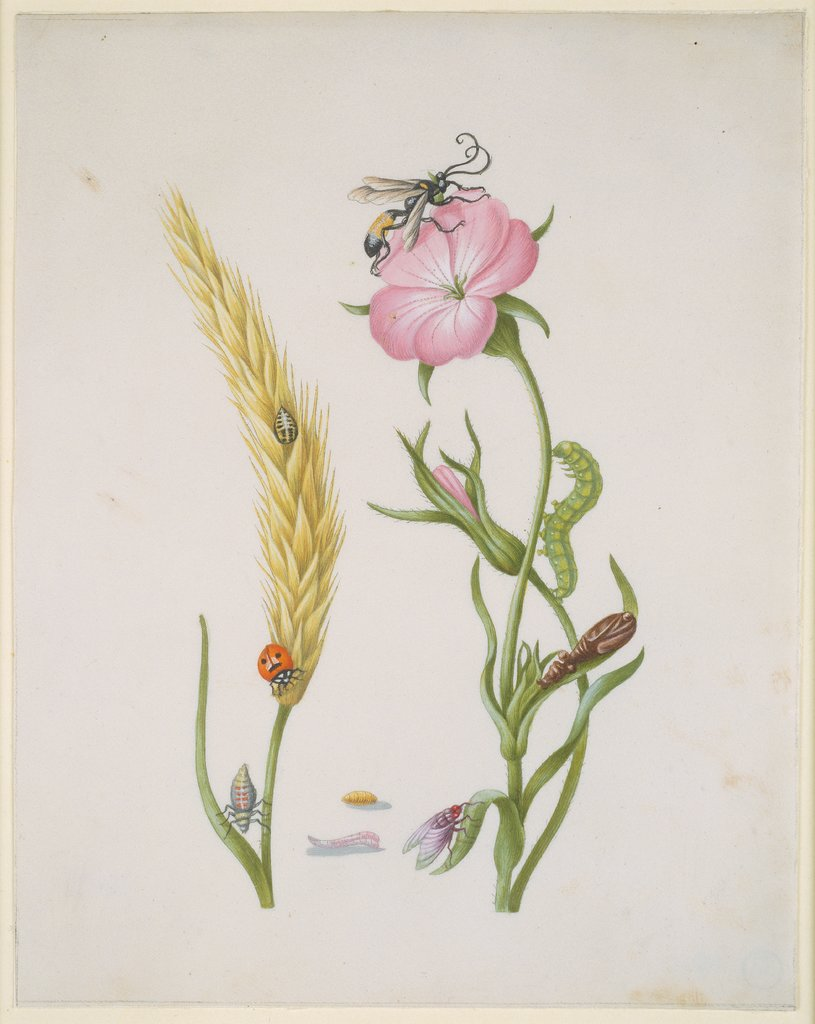 Cereal Ear and Corn Cockle with Metamorphoses of the Five-Spot Ladybird and Blowfly, Maria Sibylla Merian